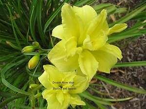 DOUBLE RIVER WYE DAYLILY 2F  double yellow daylily