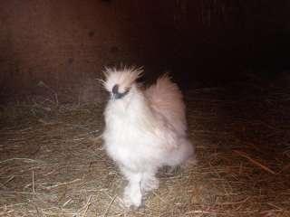 Mahanaim Farm 12 Silkie chicken hatching eggs
