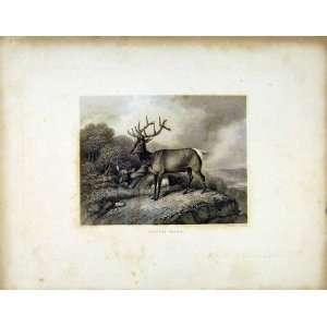 Wapiti Deer C1843 Antique Print Buck Animal Cliff