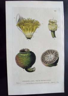 BAXTER ANTIQUE PRINT NYMPHAEA ALBA, WATER LILY ANATOMY