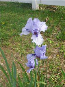 MIXED COLORED HYBRID TALL BEARDED IRIS SHIPPING NOW