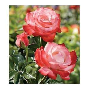 Sheer Magic Hybrid Tea Rose: Patio, Lawn & Garden