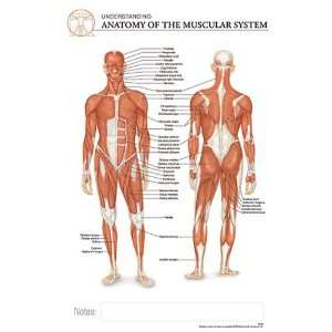 Post It Anatomy Muscular System Chart Office Products