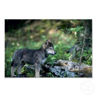 Gray Wolf small pup in green woods Poster from Zazzle